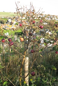 Allotment dwarf fruit tree