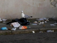 small image of a seagull ripping open a black refuse sack