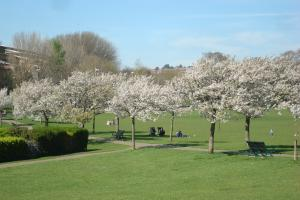 Line of Cherry trees in Hove park