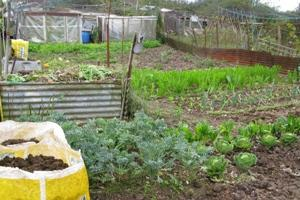 Allotment cultivation