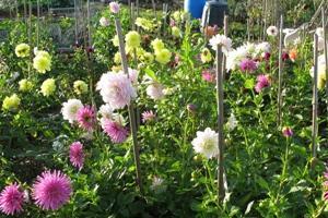 Allotment flower crop