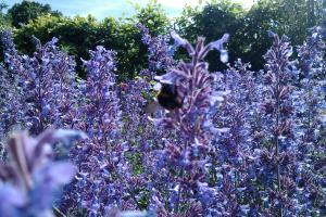 bee on purple salvia plant at The Level