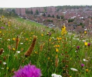 Whitehawk Hill wild flowers and estate